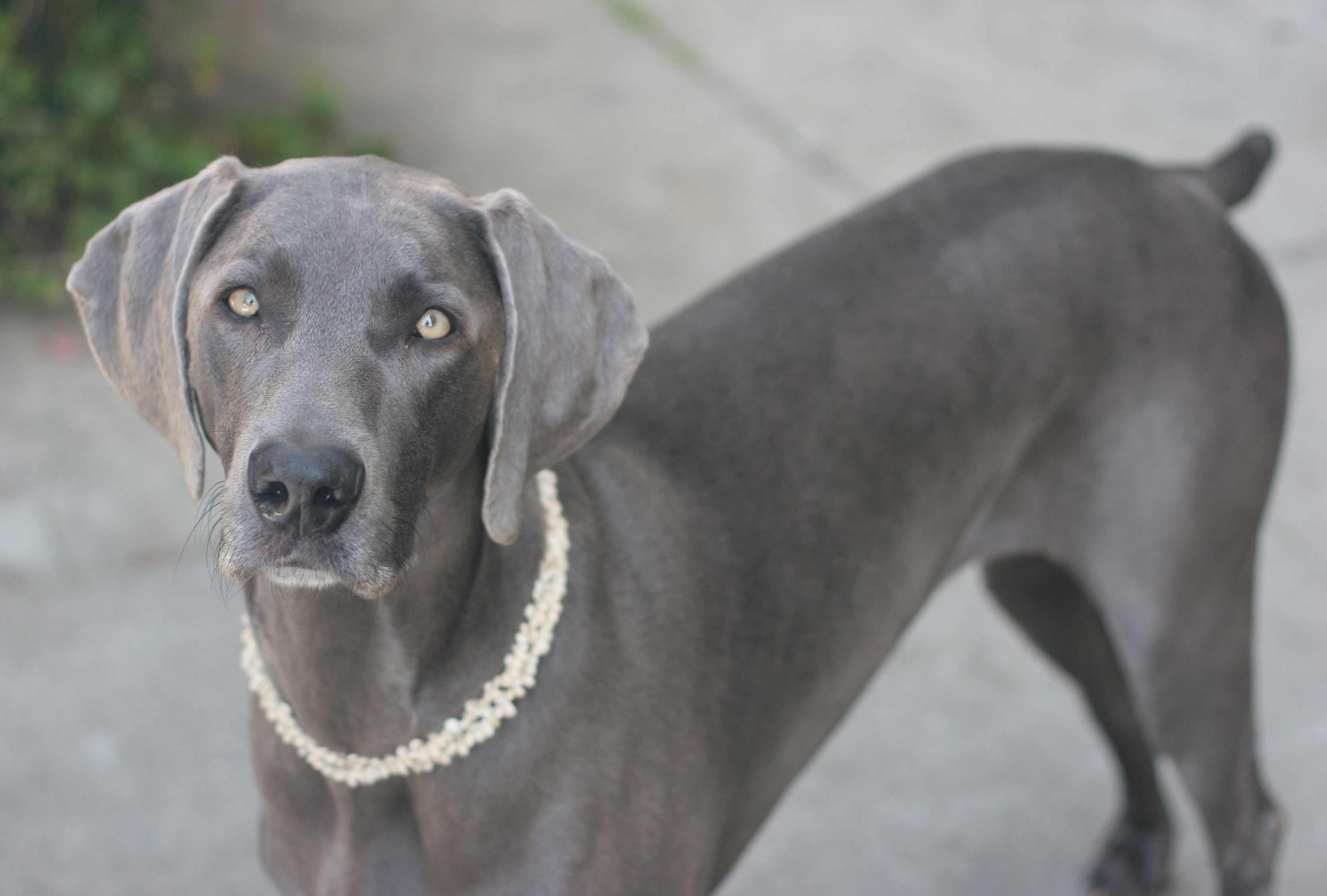 Weimaraner Dog Breed » Information, Pictures, & More