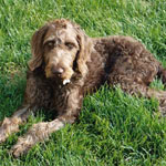 Weimardoodle Dog Breed