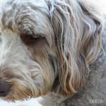 Apricot Weimardoodle (Weimaraner Poodle Mix)