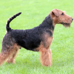 Black & Tan Welsh Terrier