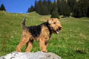 Black & Tan Welsh Terrier