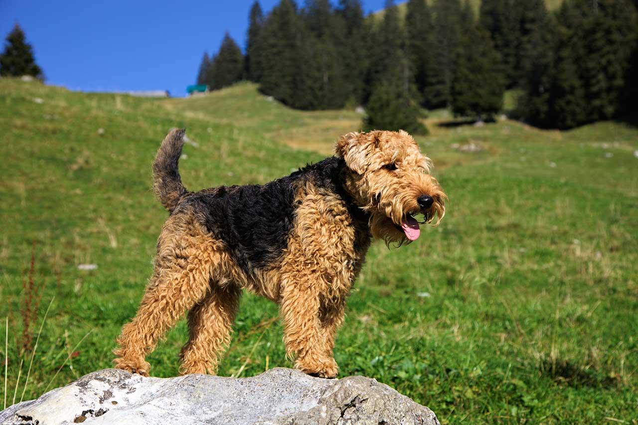 Dogs Like Welsh Terrier
