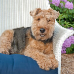 Grizzle & Tan Welsh Terrier