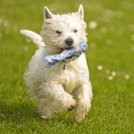 West Highland White Terrier Running