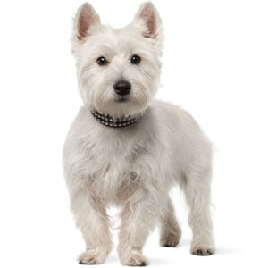 West Highland White Terrier Dog Breed