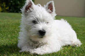 White West Highland White Terrier