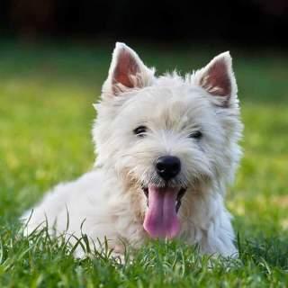 West Highland White Terrier Lying on Grass