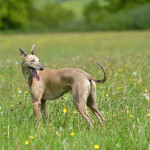 Blue Apricot Brindle Whippet