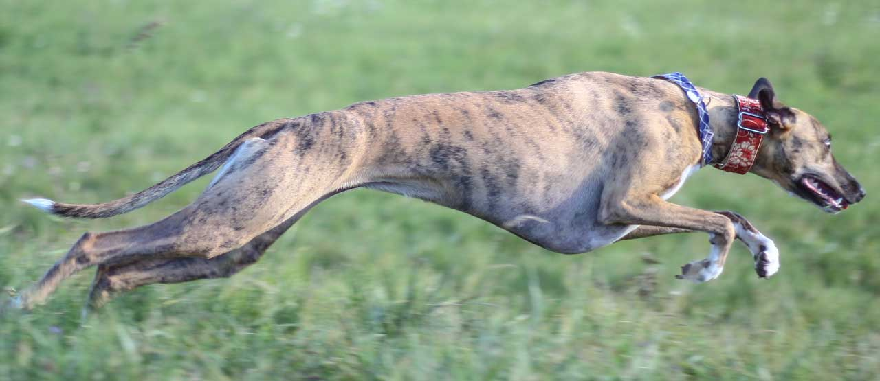Whippet Dog Breed Everything About Whippet