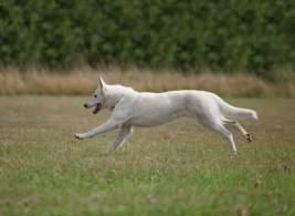 White Shepherd Dog Running