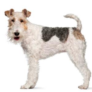 White & Black Wire Fox Terrier
