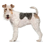 White & Black Wire Fox Terrier