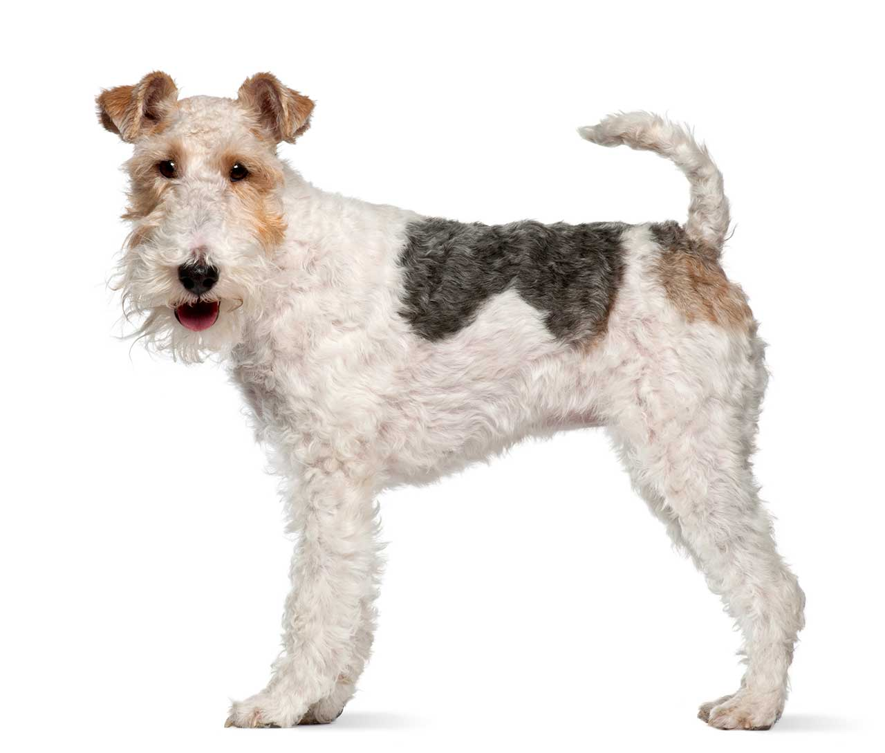 Wire Fox Terrier Dog Breed » Everything About Wire Fox Terrier