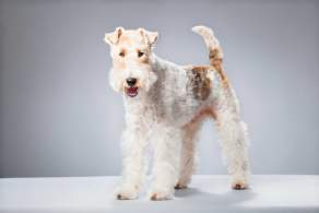 White & Ginger Wire Fox Terrier