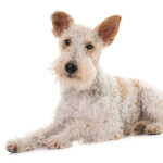 White Wire Fox Terrier