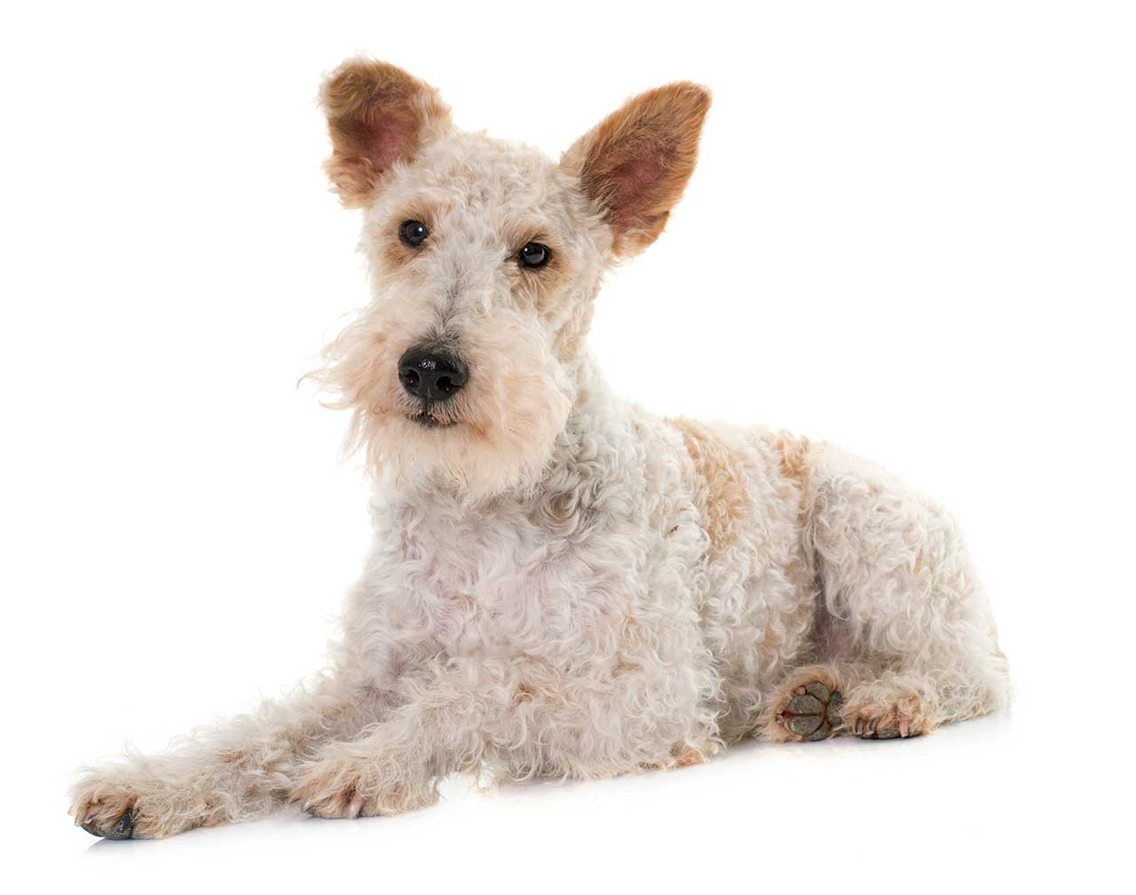 wire fox terrier dog b...