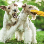 Two Wire Fox Terriers Playing