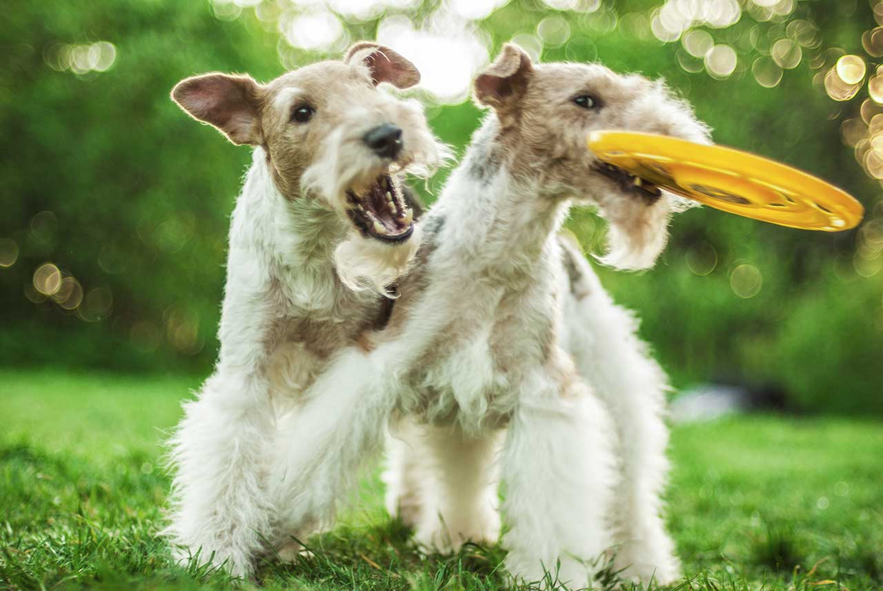 Wire Fox Terrier Dog Breed 187 Everything About Wire Fox Terrier