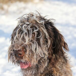 Wirehaired Pointing Griffon Headshot