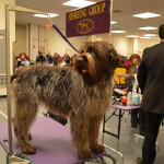 Chestnut & Grey Wirehaired Pointing Griffon