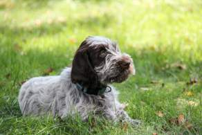 White Wirehaired Pointing Griffon Puppy