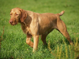 Golden Rust Wirehaired Vizsla