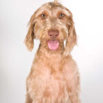Golden Wirehaired Vizsla