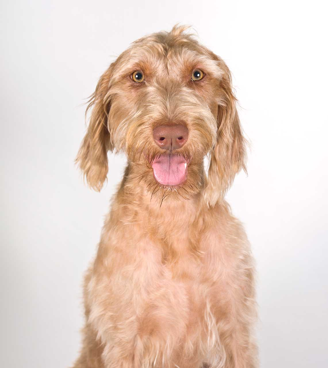 Wirehaired Vizsla Dog Breed » Everything About Wirehaired Vizsla