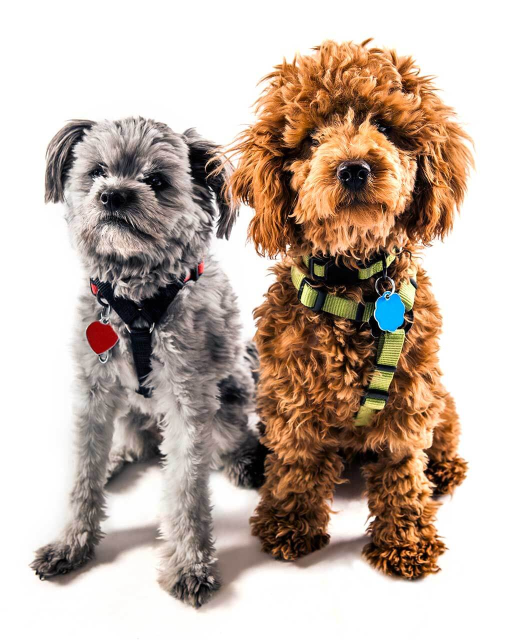 Yorkiepoo Dog Breed » Everything About Yorkiepoo