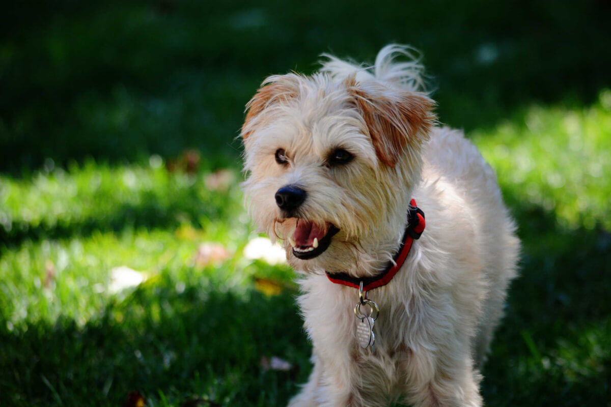 Yorkiepoo Dog Breed Everything About