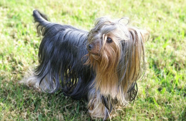 Yorkshire Terrier Dog Breed Information Pictures More