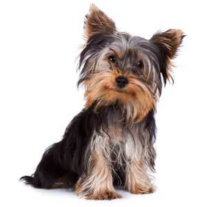 Black & Tan Yorkshire Terrier