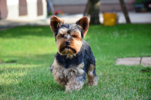 Black & Tan Yorkshire Terrier