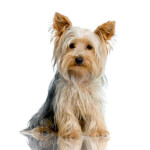 Blue & Tan Yorkshire Terrier