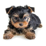 Black & Gold Yorkshire Terrier Puppy