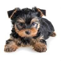 Black & Gold Yorkshire Terrier Puppy