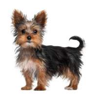 Black & Gold Yorkshire Terrier