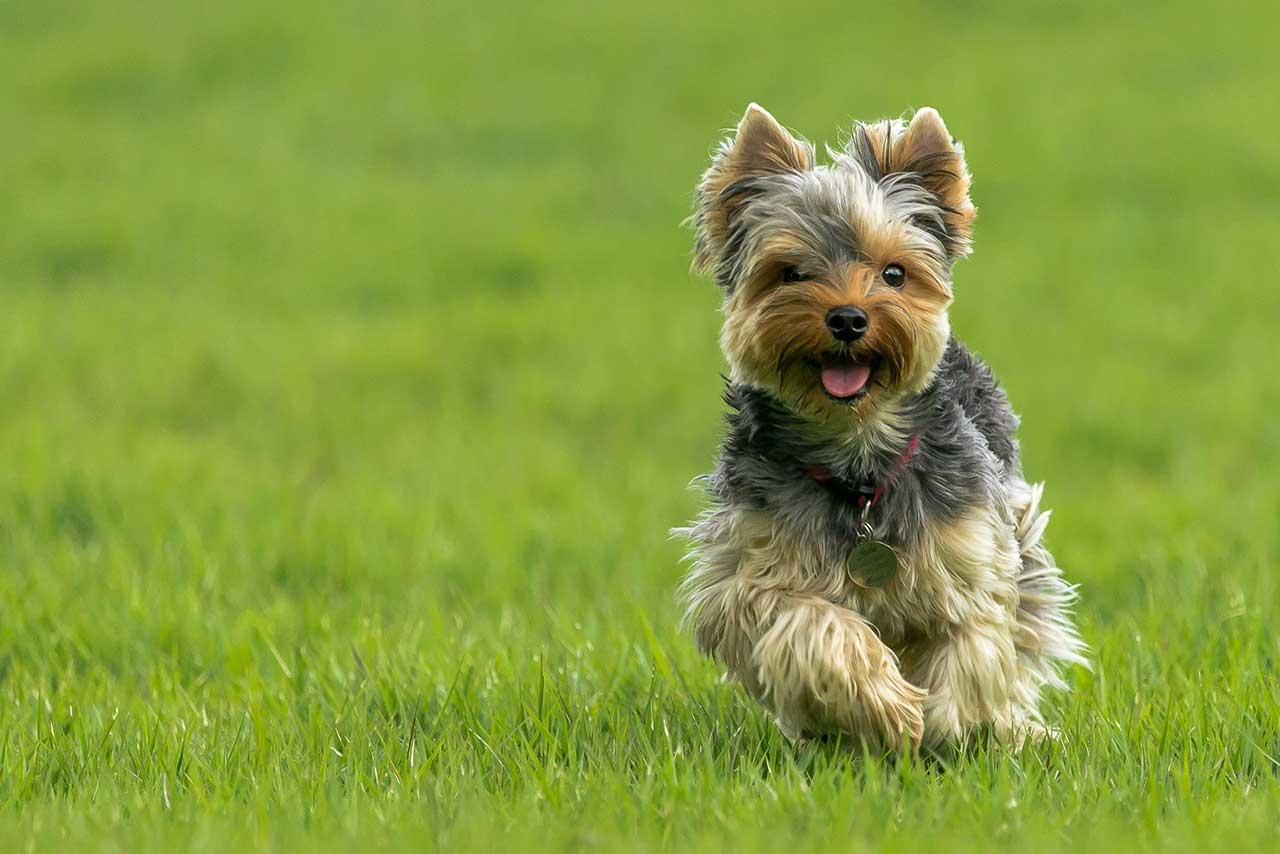 yorkie terrier breeds yorkshire terrier dog breed 187 information pictures more 2698