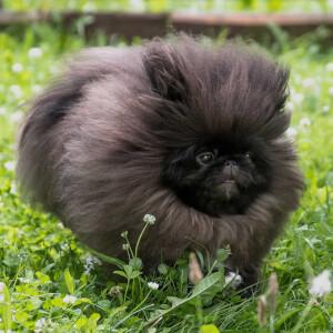 Fluffy Pekingese